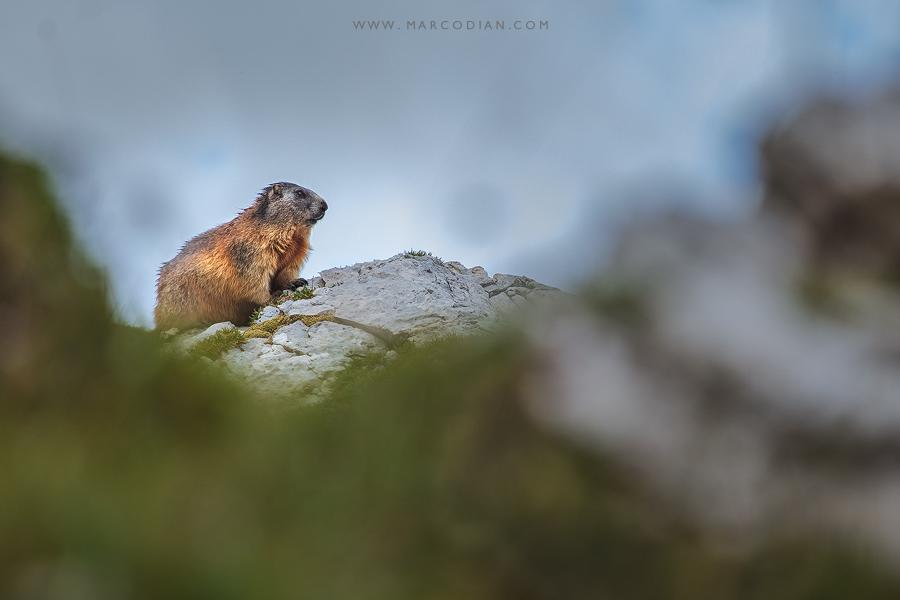 marmotta in Val Formin Canon 5Ds R