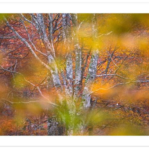 faggio_autunno_cansiglio